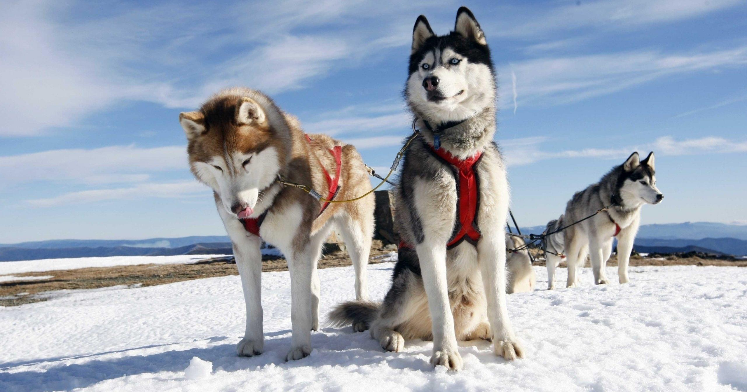 mountains-winter-sleigh-dogs-team-husky